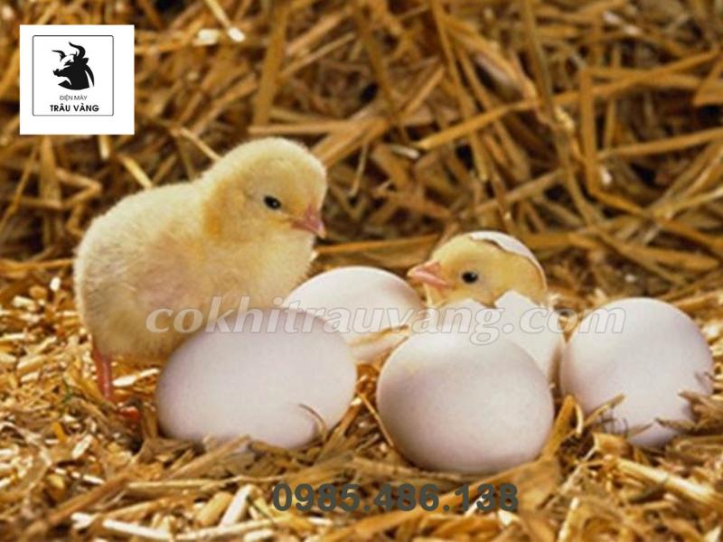 kỹ thuật chăn nuôi gà